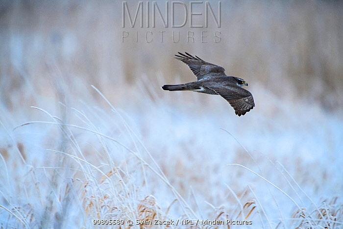 Northern goshawk (Accipiter gentilis) flying over frost covered meadow. Tartumaa, Southern Estonia. January.