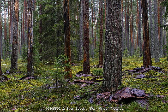 Dead Pine (Pinus sp) trees shedding bark. Ihamaru Nature Reserve, Polvamaa, Southern Estonia. November.