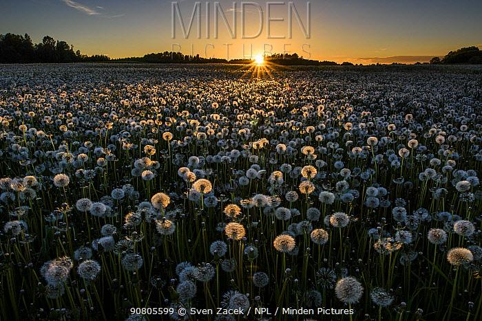 Dandelion (Taraxacum officinale), a field of many seedheads highlighted at sunset. Karula National Park, Valgamaa, Southern Estonia. June 2017.