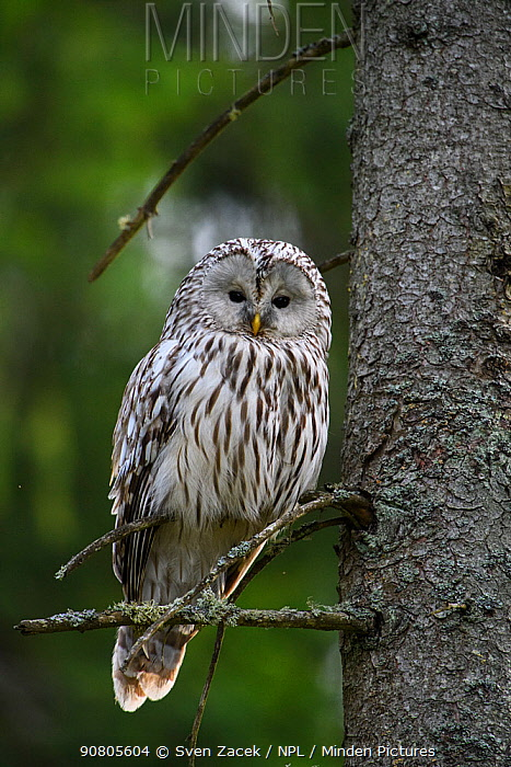 Ural owl (Strix uralensis) perching in Spruce (Picea sp) tree. Tartumaa, Southern Estonia. May.