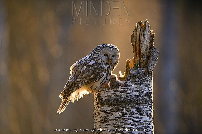 Ural owl (Strix uralensis) female at nest with chick. Tartumaa, Southern Estonia. May.