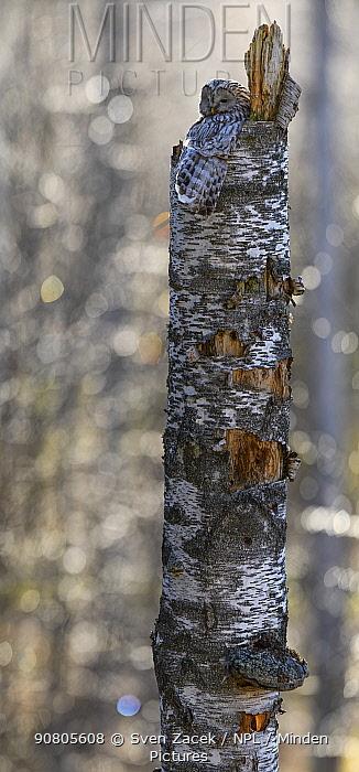 Ural owl (Strix uralensis) sitting on nest at top of broken Birch (Betula sp) tree. Tartumaa, Southern Estonia. May.