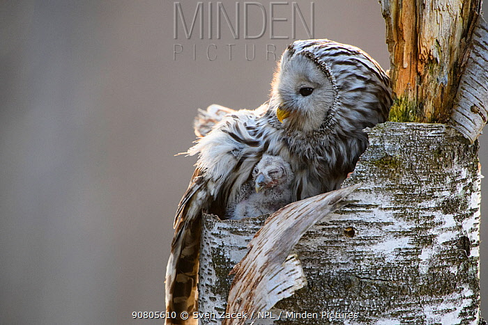 Ural owl (Strix uralensis) female with chick on nest in tree stump. Tartumaa, Southern Estonia. May.
