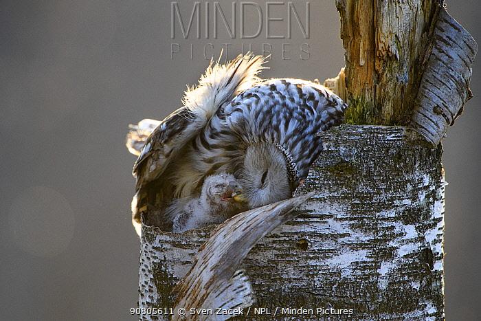 Ural owl (Strix uralensis) female feeding nestling, on nest in tree stump. Tartumaa, Southern Estonia. May.