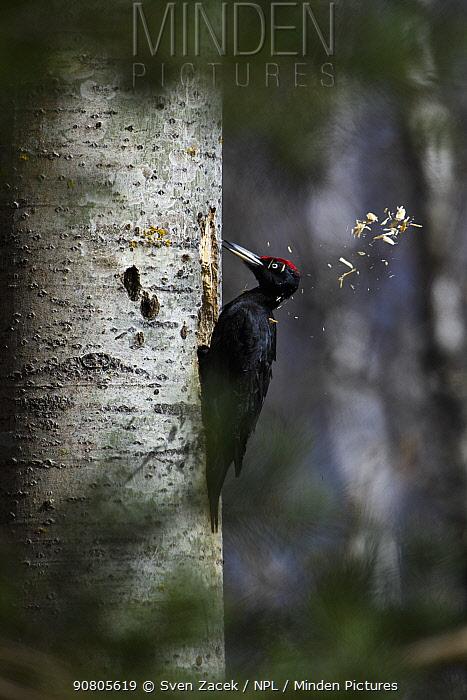Black woodpecker (Dryocopus martius) excavating nest hole. Valgamaa, Southern Estonia. April.