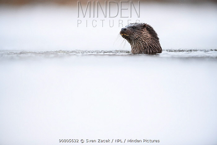 Otter (Lutra lutra), head above water, emerged from ice hole. Tartumaa, Southern Estonia. January.