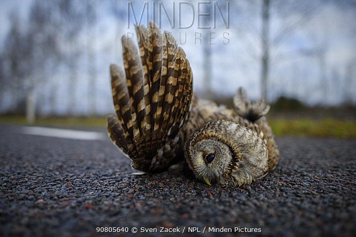 Tawny owl (Strix aluco) roadkill. Tartumaa, Southern Estonia. November 2016.
