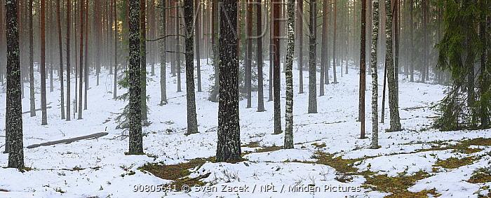 Pine (Pinus sp) with mist and melting snow. Tartumaa, Southern Estonia. November 2016.
