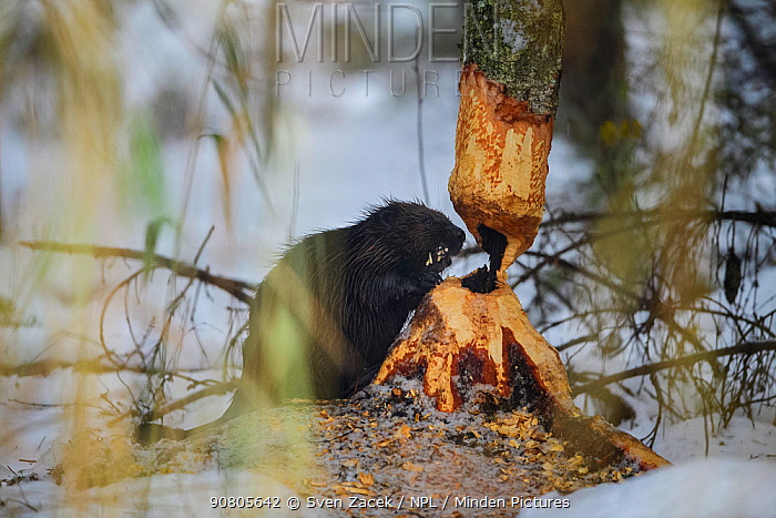 Beaver (Castor fiber) felling a Birch (Betula sp) tree for winter supplies. Tartumaa, Southern Estonia. November.