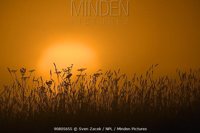 Whinchat (Saxicola rubetra) singing in meadow, silhouetted by sunrise. Karula Naitonal Park, Valgamaa, Southern Estonia. June.