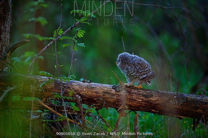 Ural owl (strix uralensis) chick on first day out of nest. Tartumaa, Southern Estonia. May.