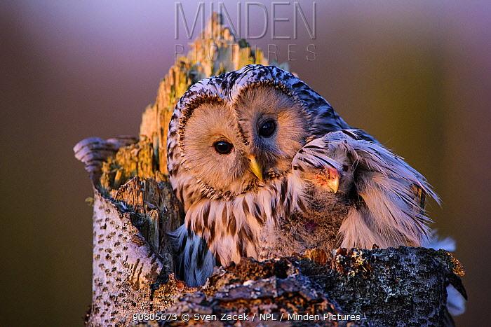 Ural owl (Strix uralensis) female on the nest with nestling hidden under wing. Tartumaa, Southern Estonia. April.