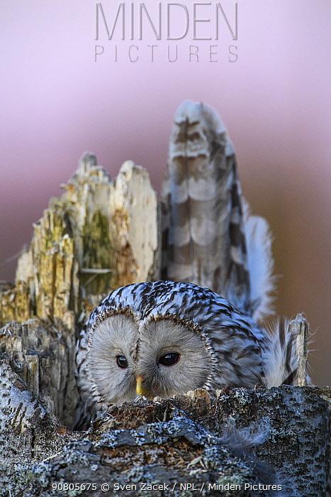Ural owl (Strix uralensis) female camouflaged on nest at dusk. Tartumaa, Southern Estonia. April.