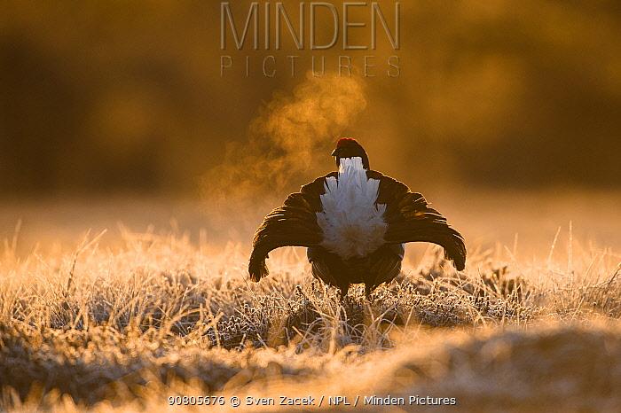 Black grouse (Tetrao tetrix) male displaying at lek on frosty morning, rear view. Vorumaa, Southern Estonia.
