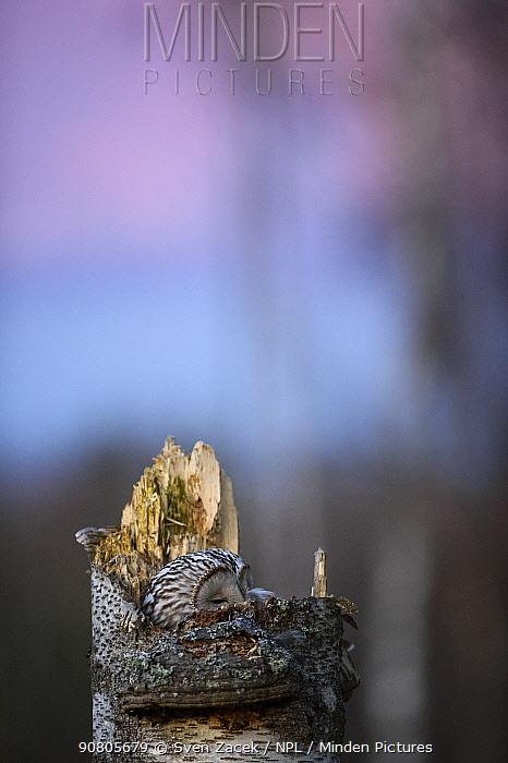Ural owl (Strix uralensis) female hidden on nest at dusk. Tartumaa, Southern Estonia. April.