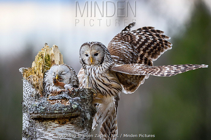 Ural owl (Strix uralensis) female feeding at nest on rodent prey presented by mate. Tartumaa, Southern Estonia. April.