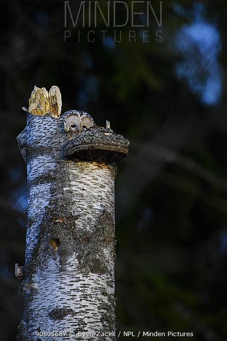 Ural owl (Strix uralensis) female on nest. Tartumaa, Southern Estonia. March.