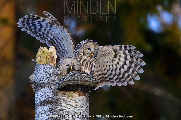 Ural owl (Strix uralensis) pair at nest on tree stump, female feeding on prey caught by male. Tartumaa, Southern Estonia. March.