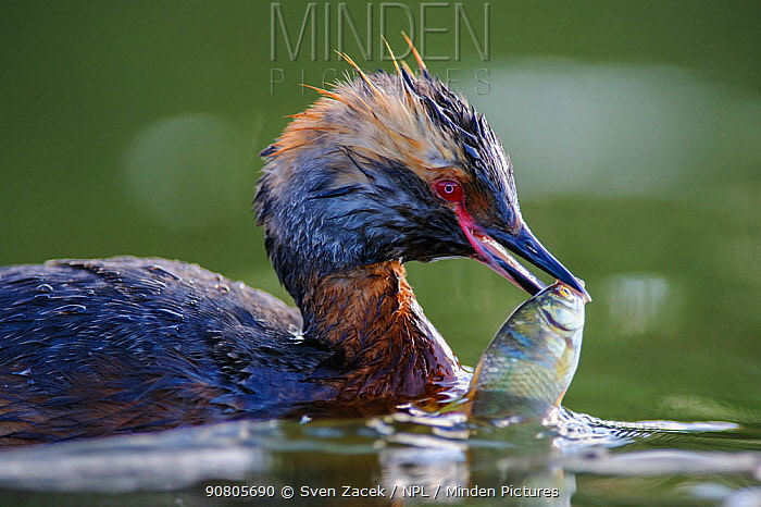 Horned grebe (Podiceps auritus) with fish in beak. Harjumaa, Northern Estonia. July.
