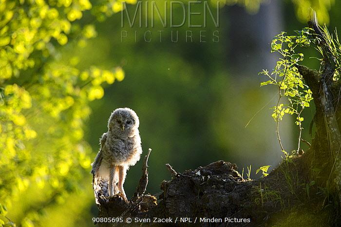 Ural owl (Strix uralensis) fledgling chick stretching wings and legs. Tartumaa, Southern Estonia. May.
