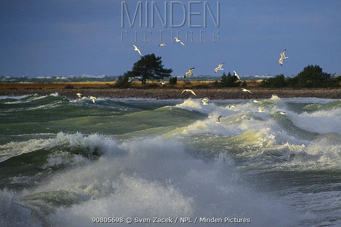 Flock of Gulls looking for food in waves off coast of Saaremaa Island. Vilsandi National Park, Saaremaa, Western Estonia. November 2015.
