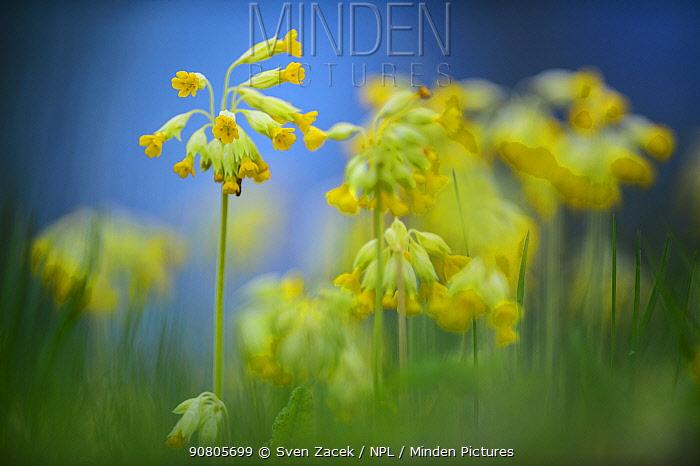 Cowslip (Primula veris) flowering, soft focus. Otepaa Nature Park, Valgamaa, Southern Estonia. May.