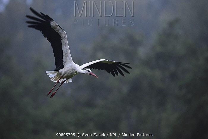 White stork (Ciconia ciconia) taking off. Karula National Park, Valgamaa, Estonia. August.