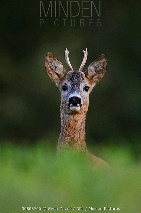 Roe deer (Capreolus capreolus), young buck, portrait. Karula National Park, Valgamaa, Estonia. August.