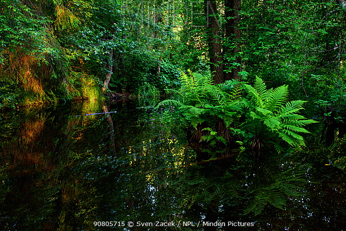 Flooded woodland and river upstream of a Beaver (Castor fiber) dam. Valgamaa, Southern Estonia. June.