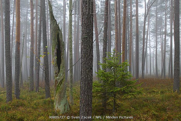 Pine (Pinus) forest on misty morning. Tartumaa, Southern Estonia. October 2015.