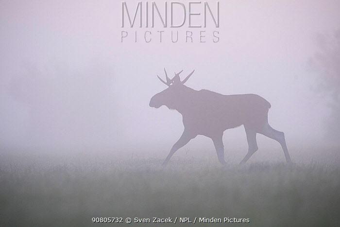 Moose / Elk (Alces Alces) bull walking through morning fog. Matsalu National Park, Laanemaa, Western Estonia. September.