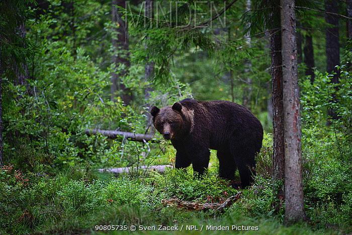 Brown bear (Ursus arctos) in coniferous forest. Ida-Virumaa, Eastern Estonia. September.