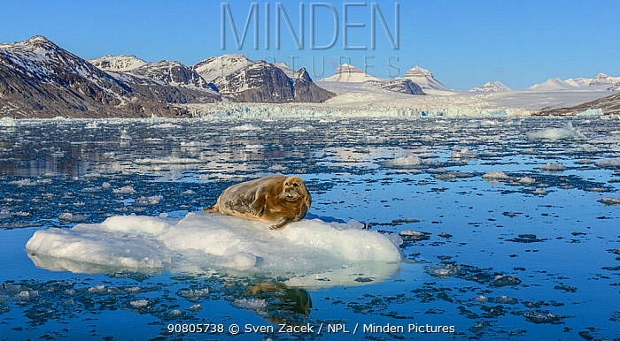 Bearded seal (Erignathus barbatus) sunbathing on iceberg broken off from glacier. Kongsfjorden fjord, Spitsbergen, Norway. June 2014.