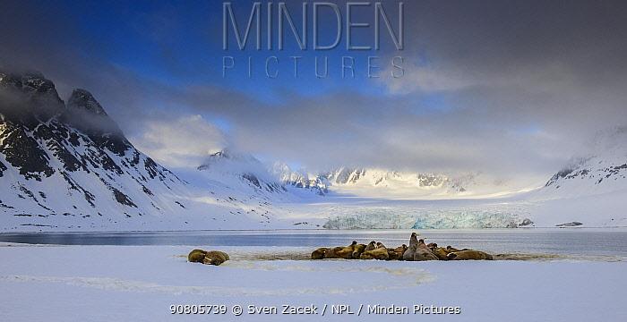 Walrus (Odobenus rosmarus) colony in front of glacier, Magdalenefjorden fjord, Spitsbergen, Norway. June 2014.