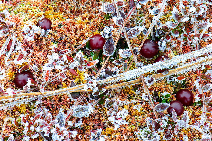 Cranberry (Vaccinium oxycoccos) berries and frozen leaves growing amongst moss in a bog. Tartumaa, Southern Estonia. November.