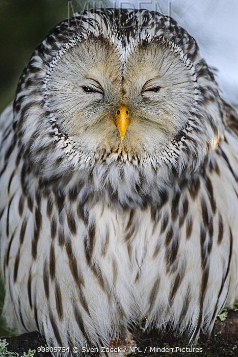 Ural owl (Strix uralensis) female, portrait. Tartumaa, Southern Estonia. February.
