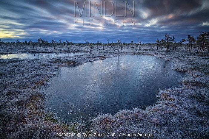 Frozen bog pools and bog turf at dawn. Alam-Pedja Nature Reserve, Tartumaa, Southern Estonia. November 2018.
