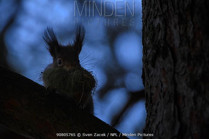 Silhouette of Red squirrel (Sciurus vulgaris) gathering nesting material for winter nest. Ida-Virumaa, Eastern Estonia. November.