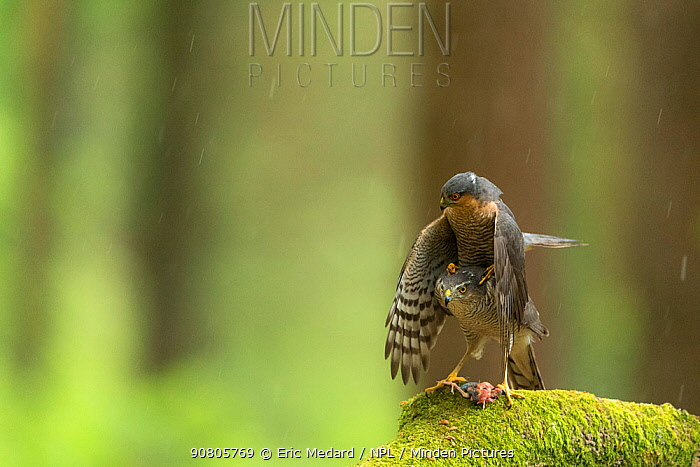 Sparrowhawk (Accipter nisus) pair mating. With dead chick, a nuptial gift, at females feet, in forest, Pays de Loire, France