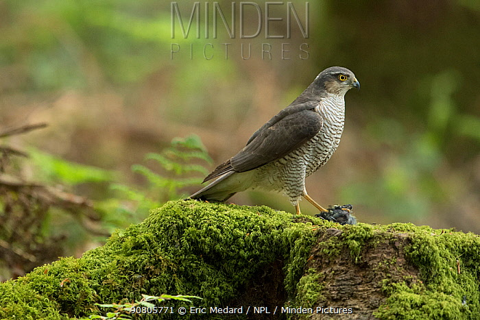 Sparrowhawk (Accipter nisus) female with chick prey, nuptial gift from male, in forest, Pays de Loire, France
