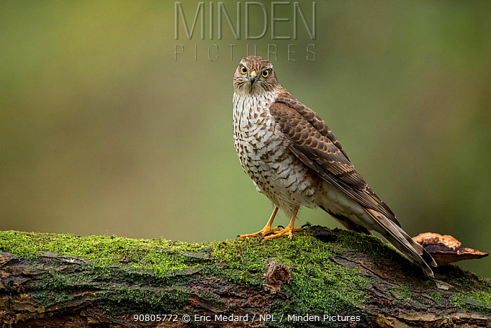 Sparrowhawk (Accipter nisus) female, in forest, Pays de Loire, France