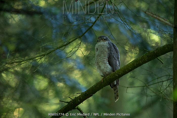 Sparrowhawk (Accipter nisus) female perched in tree, in forest, Pays de Loire, France