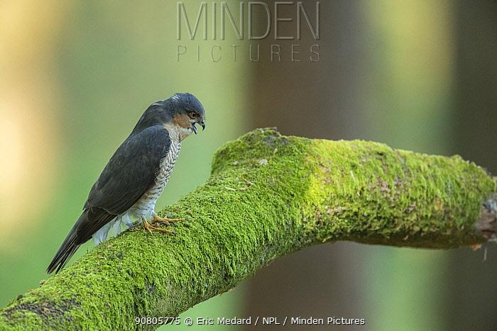 Sparrowhawk (Accipter nisus) male regurgitating pellet, in forest, Pays de Loire, France