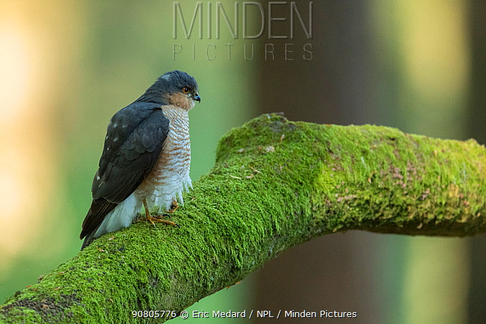 Sparrowhawk (Accipter nisus) male on branch, in forest, Pays de Loire, France