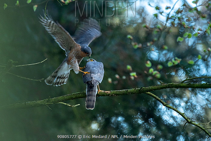 Sparrowhawk (Accipter nisus) male landing to mate with female, in forest, Pays de Loire, France