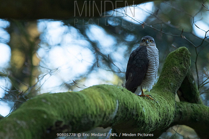 Sparrowhawk (Accipter nisus) female in tree, in forest, Pays de Loire, France