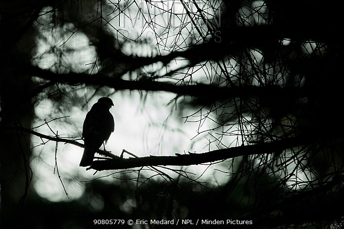 Sparrowhawk (Accipter nisus) silhouetted in tree, in forest, Pays de Loire, France