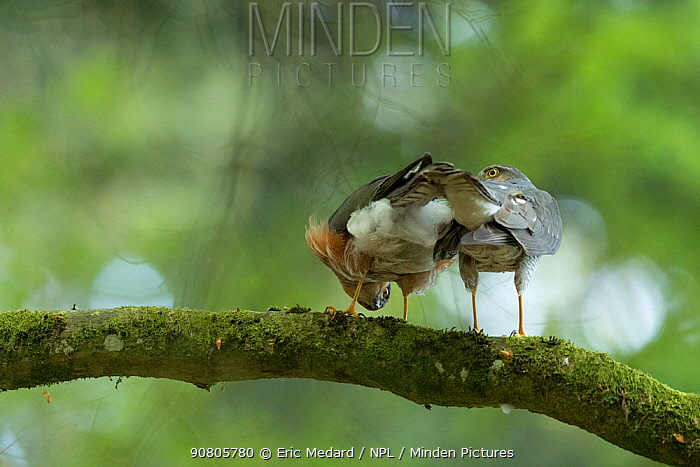 Sparrowhawk (Accipter nisus) rear view, in forest, Pays de Loire, France
