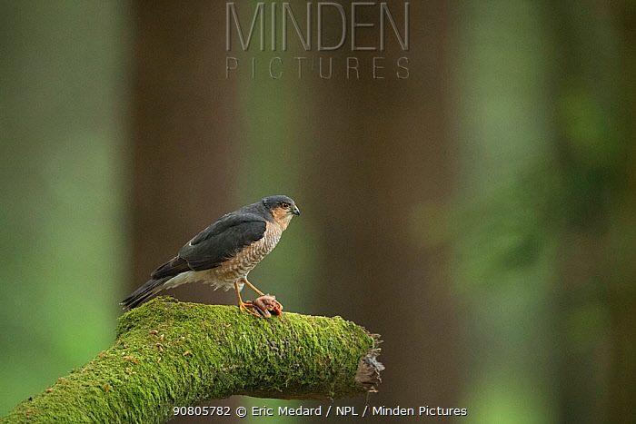 Sparrowhawk (Accipter nisus) male with dead chick as courtship gift for female, in forest, Pays de Loire, France