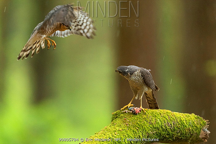 Sparrowhawk (Accipter nisus) male flying to female. Dead chick, a nuptial gift, at female's feet, in forest, Pays de Loire, France